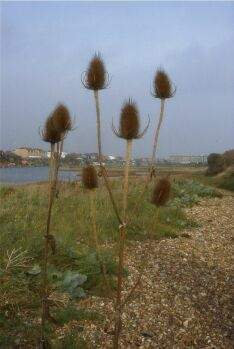 cardoon, artichoke or teasel?