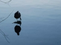 Coot on pond