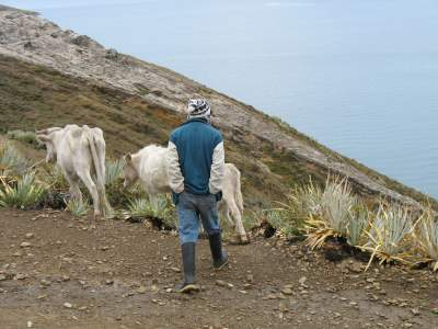 cattle-herder1
