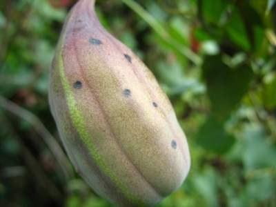 dutchmans_pipe_fruit