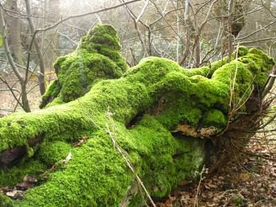 mossy_tree