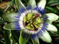 normal_passion_flower01