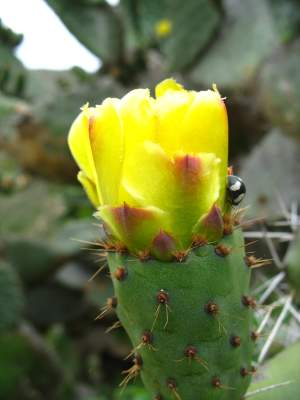 flowering-cactus