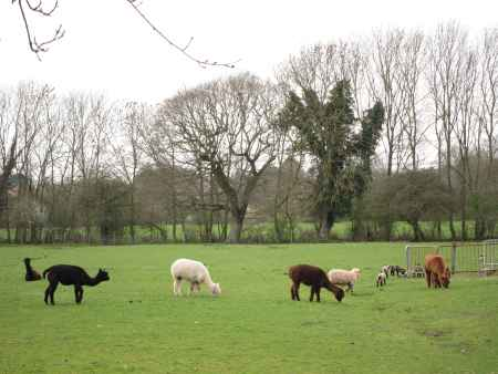Lambs and Llamas in field, West Sussex, UK