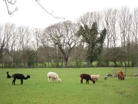 Lambs and Llamas