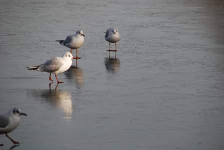 Terns on icy lake