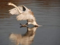 Swan coming in to land on water