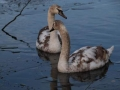 Cygnets on icy lake