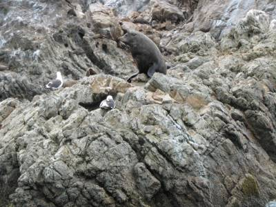 Fur Seal on rocks, Kaikoura, New Zealand