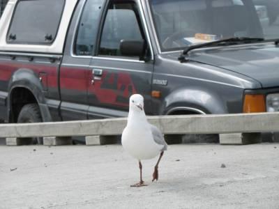 Theiving seagull, Kaikoura