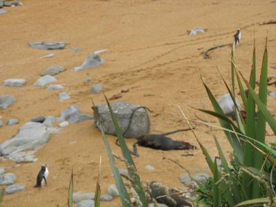 Yellow Eyed Penguins and Fur Seals, Moeraki, New Zealand