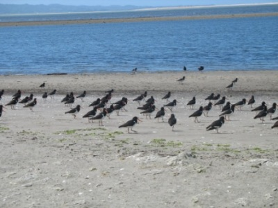 Oyster Catchers, Collingwood, New Zealand