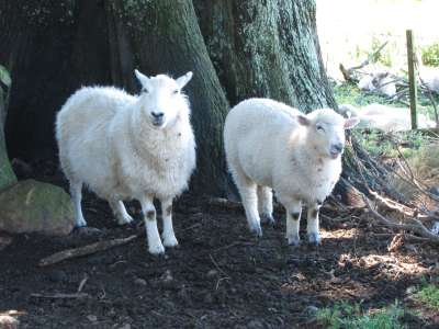 Sheep - Lovers Leap track