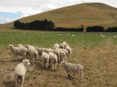 Hurunui Sheep