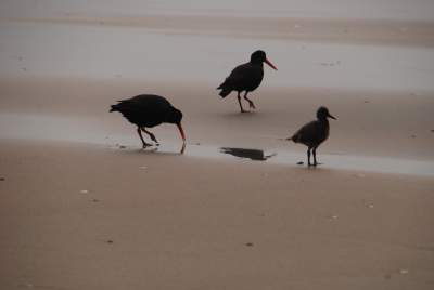 Oyster Catchers with Chick