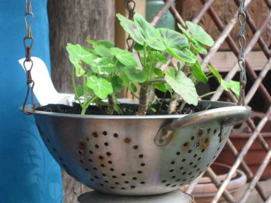 Plants growing in a colander