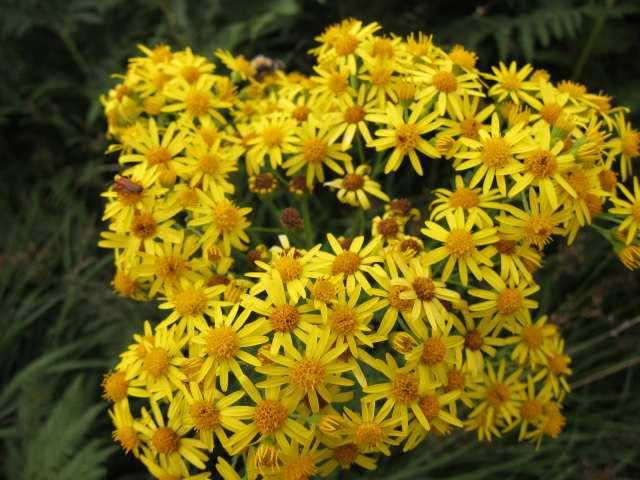 Widlflowers