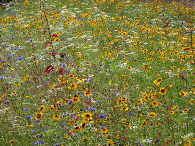 summer meadow flowers