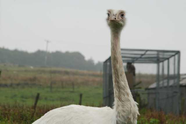 White Emu
