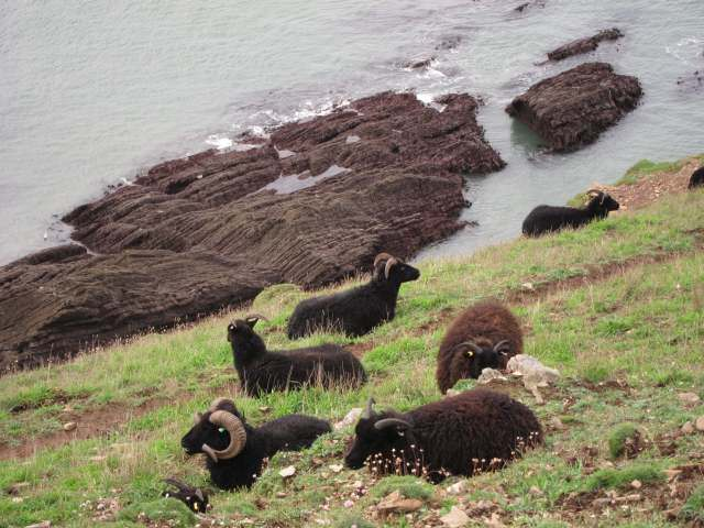 Goats on cliffs