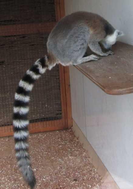 Lemur, Africa Alive, Kessingland, Suffolk