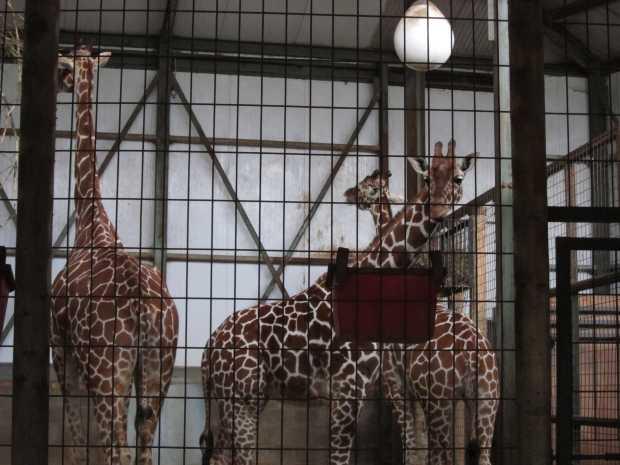 Giraffe, Africa Alive, Kessingland, Suffolk