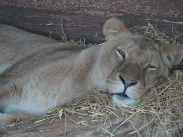 Dozing lion, Africa Alive, Kessingland, Suffolk