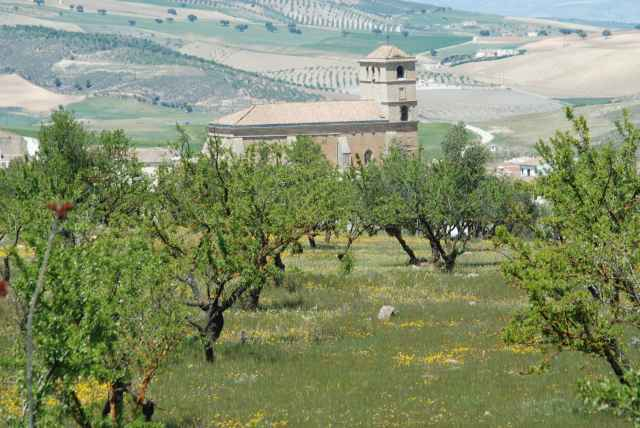 Olive groves and church