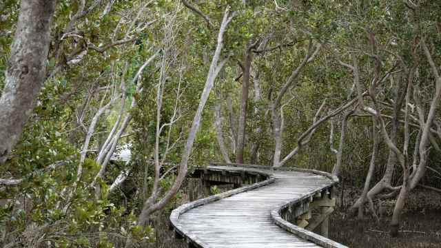Boardwalk and mangroves