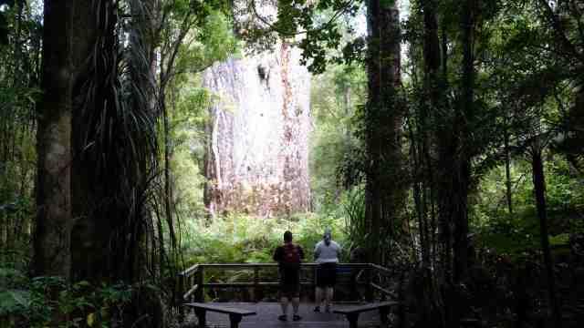 Large Kauri Tree