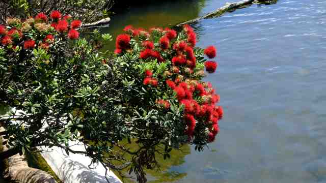 Pohutakawa tree with red flowers
