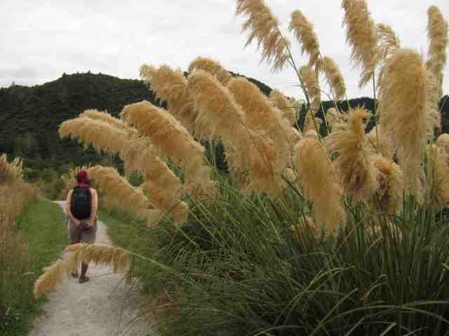 Totara grasses on the Tarawera Trail