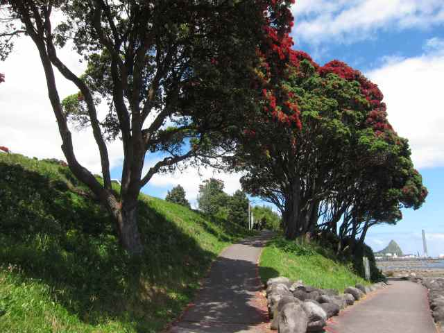 Pohutakawa on coastal path, New Plymouth, New Zealand